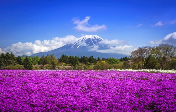 Japan Mount Fuji View with blossom