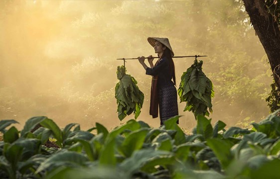 Laos woman carrying tobacco leaves