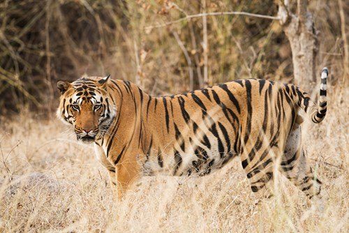 Indian tiger in Bandhavgarh National Park