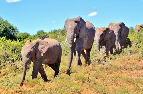 South African elephants walking