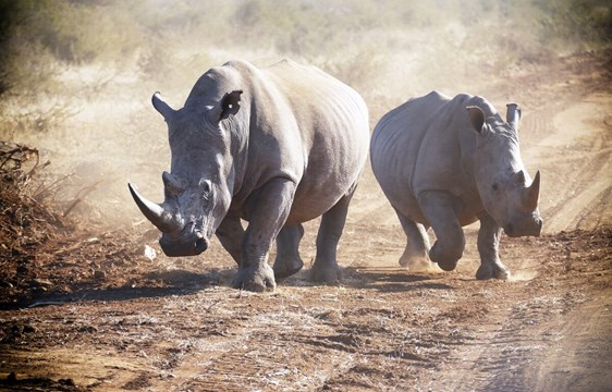 Rhinos pacing in South Africa