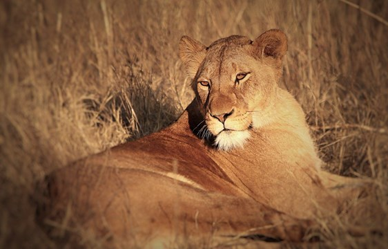 Lion in Nambiti Game Reserve