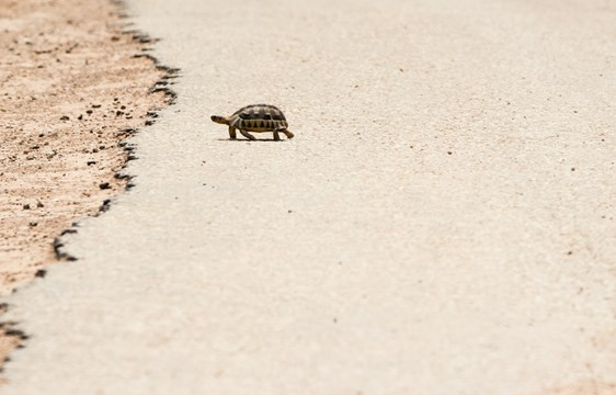 Tortoise crossing road South Africa