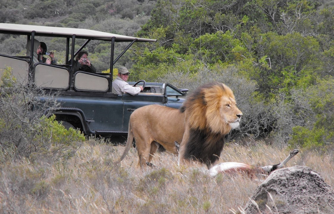 Lion spotted during game drive in Amakhala Game Reserve