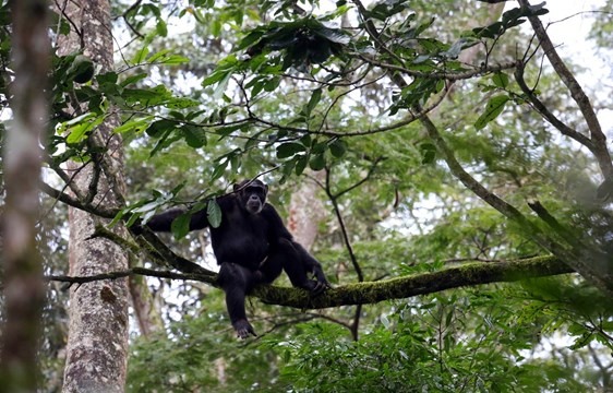 Chimpanzee sitting on a branch in Kibale Forest, Uganda
