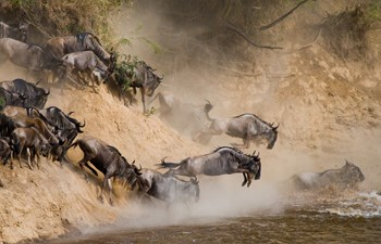 Wildebeest migration crossing the Grumeti River
