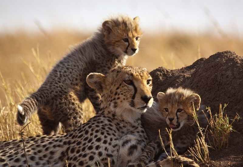Cheeatah family with cubs
