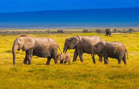 Elephant family in Kenya