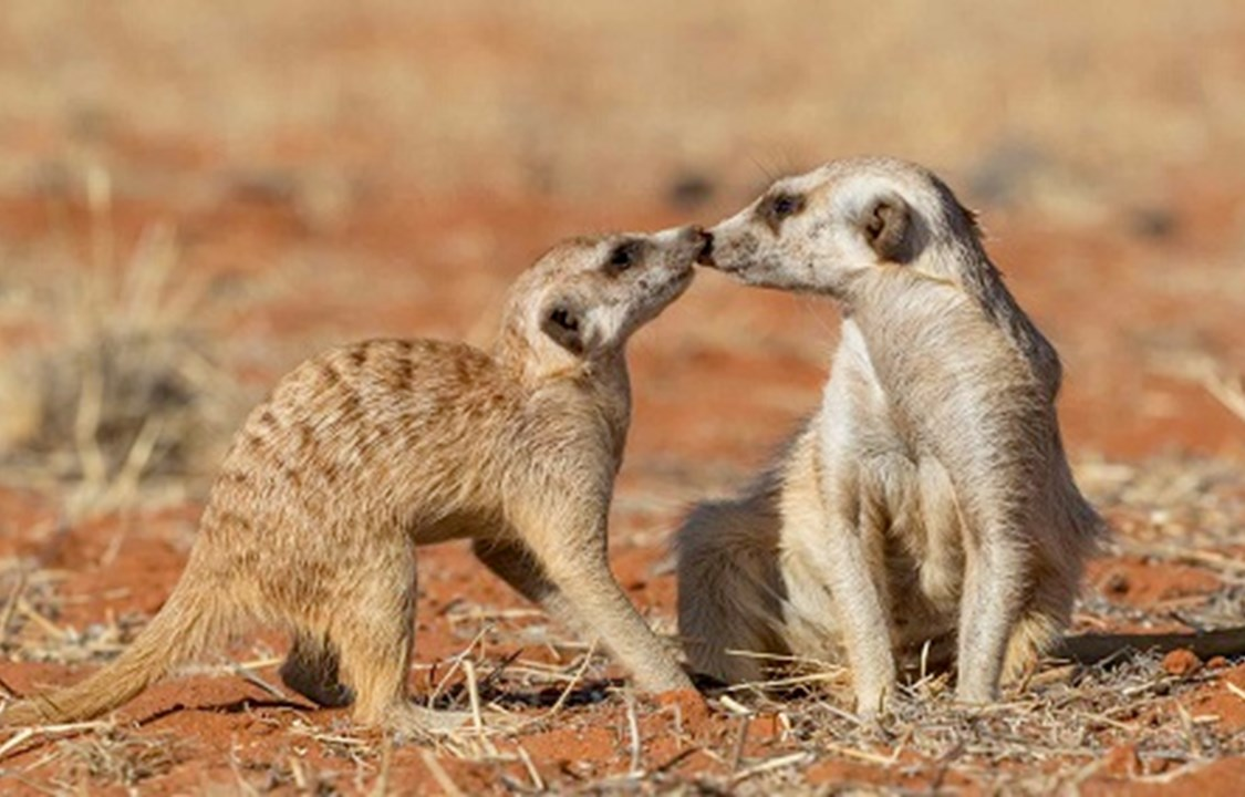 Meerkats kissing in Kalahari