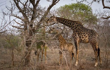 Giraffes spotted on safari in Swaziland