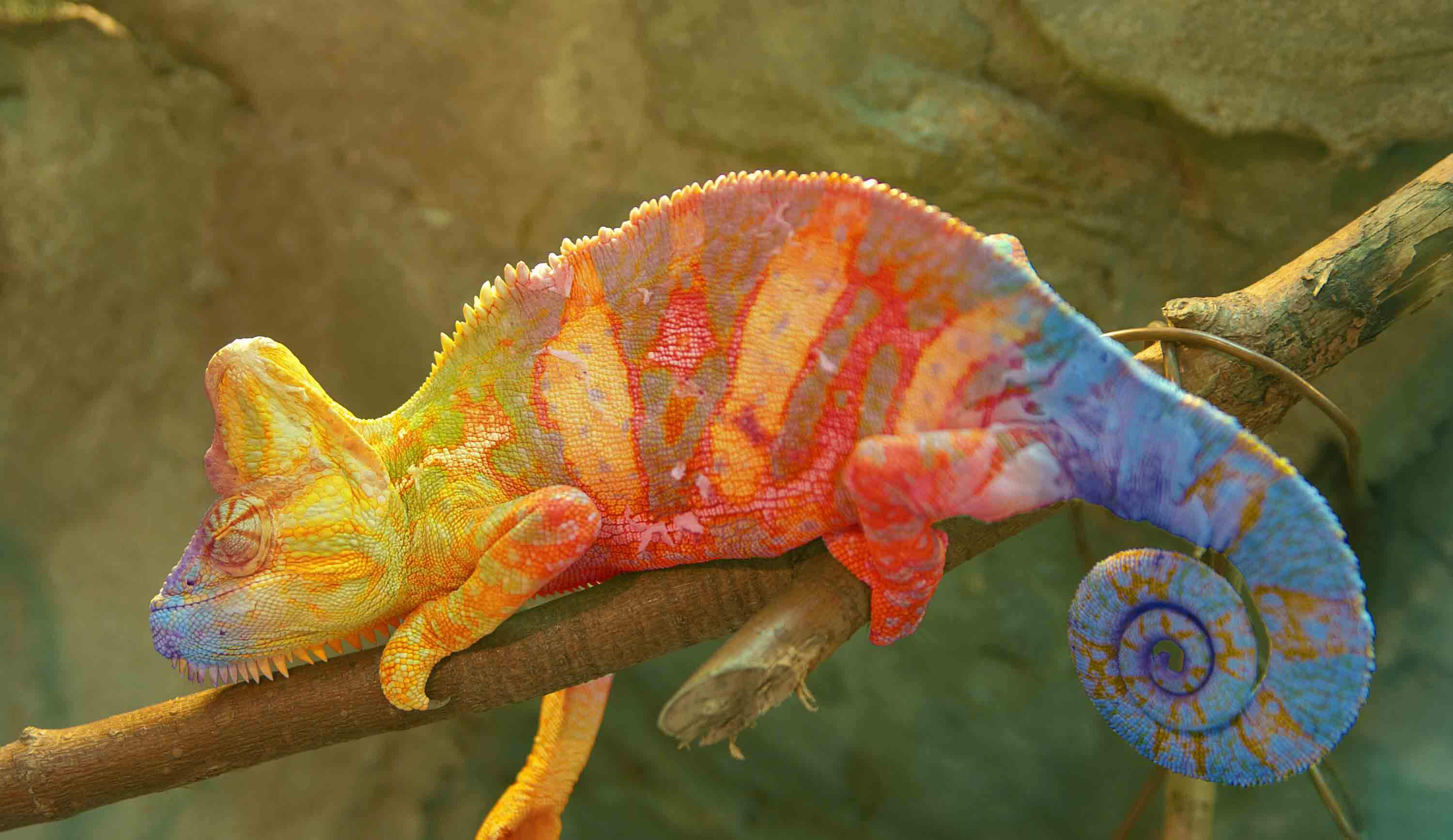 colourful chameleon on a branch