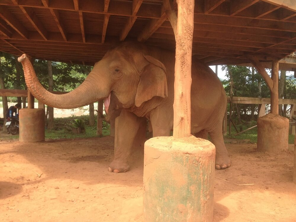 Happy elephant in the shade at Elephant Nature Park elephant sanctuary in Chiang Mai