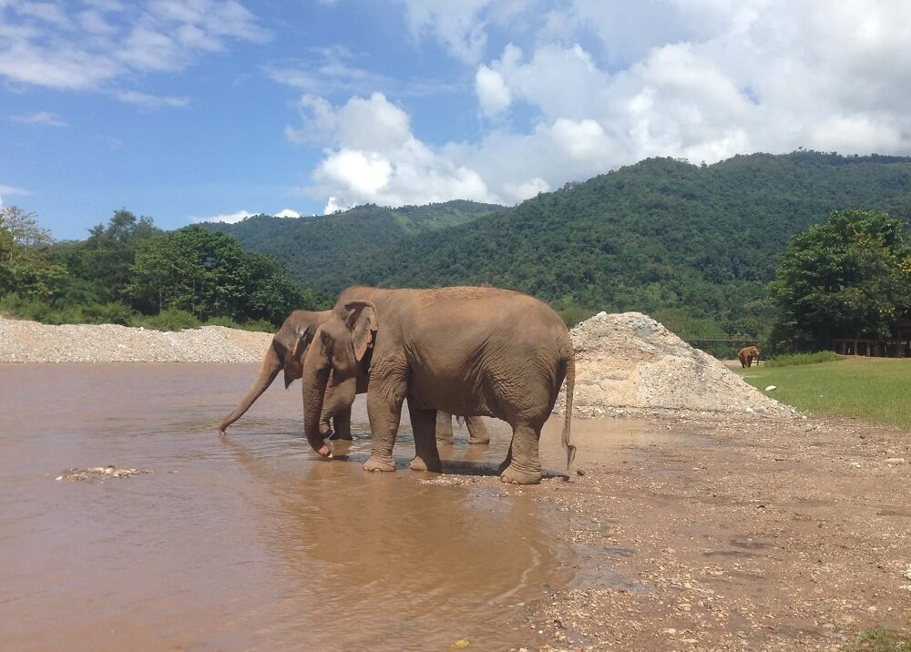 Two elephants drinking at the river at Elephant Nature Park elephant sanctuary