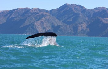 Humpback whale watching in New Zealand on a wildlife tour