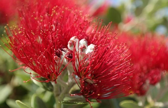 Red pohutukawa flower blossom at Christmas in December in New Zealand