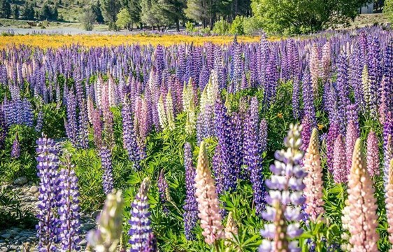 Pink and purple spring lupins in blossom in November in New Zealand