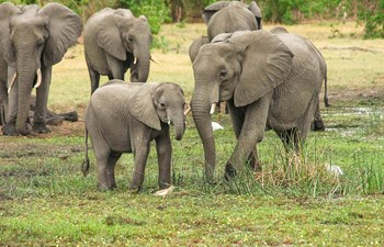 Elephant family with baby on African safari