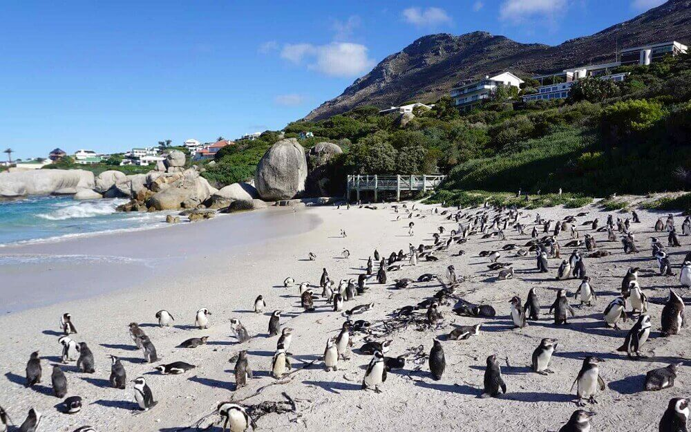African penguins on Boulders Beach near Cape Town in South Africa