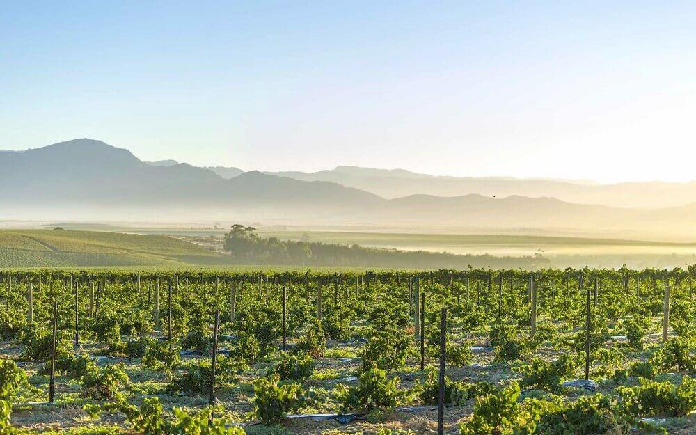 Vineyards of grapes in the Winelands near Cape Town in South Africa