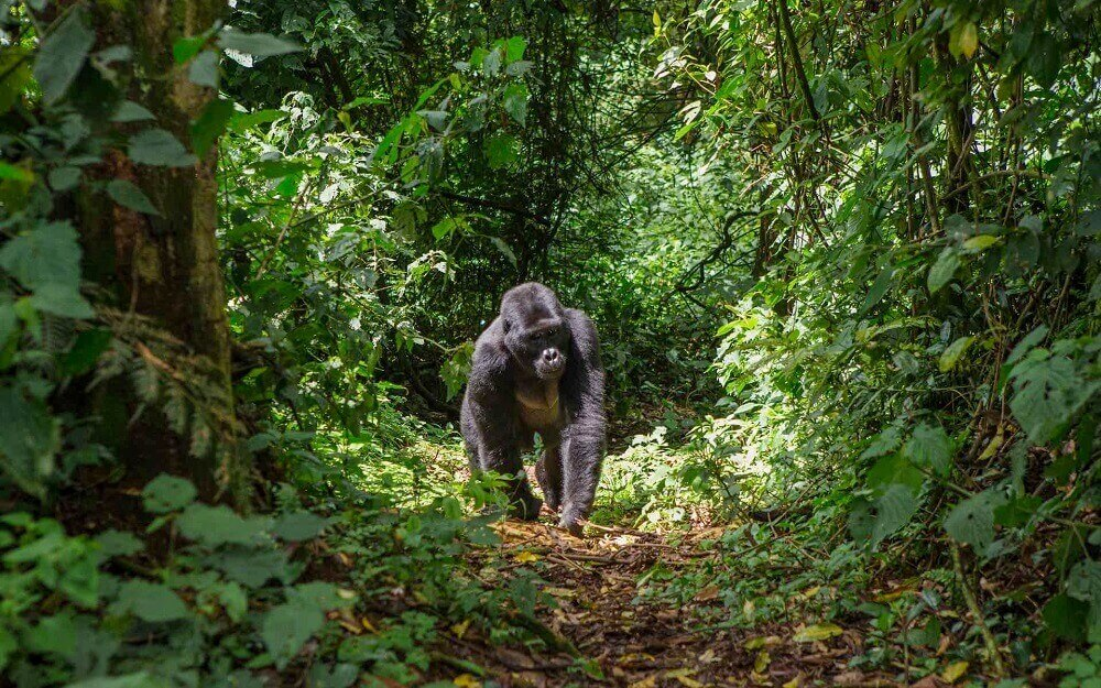 Mountain gorilla in Bwindi Forest in Uganda