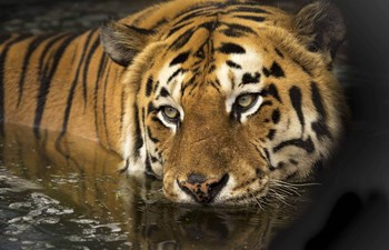 Bengal tiger swimming in India - BBC Earth's Dynasties with David Attenborough