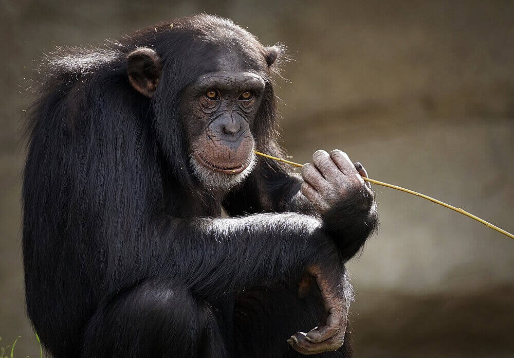 Chimpanzee sitting with a toothpick