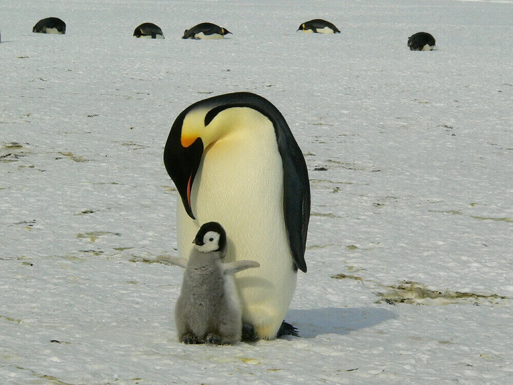 Emperor penguin and chick in Antarctica