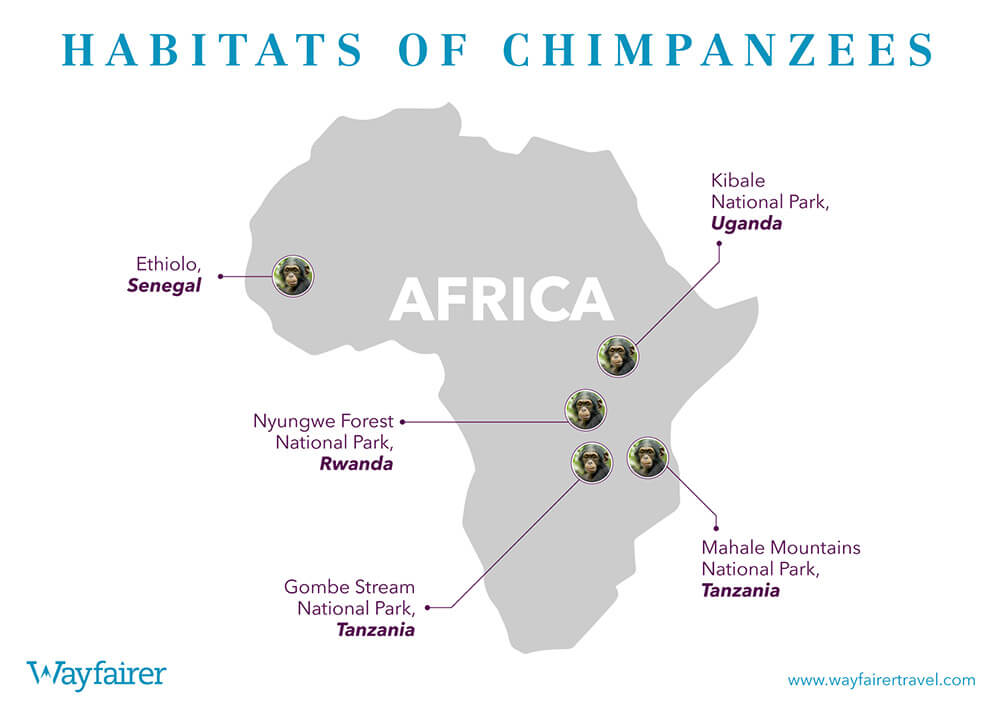 Infographic of where to see Chimpanzees in Africa