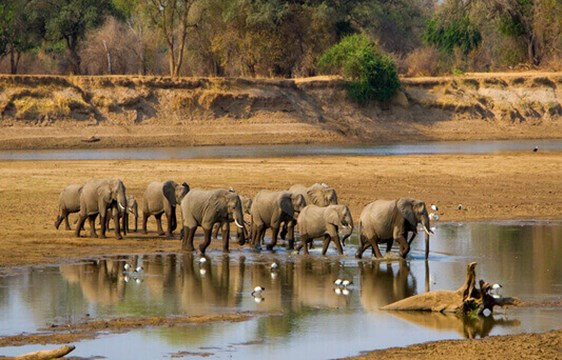 Herd of elephants by the river in Zambia