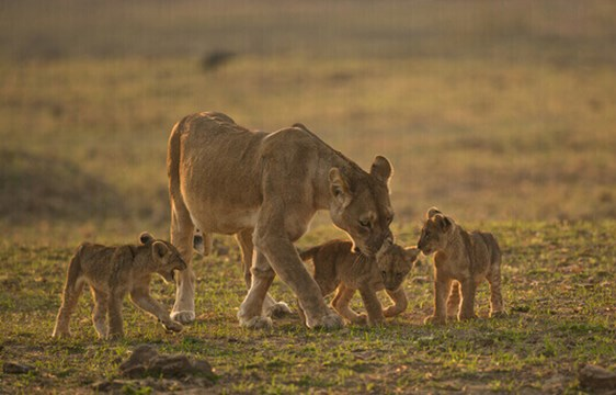 Lioness and cubs on safari in Zambia