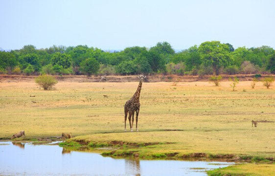 Giraffe on safari in Zambia