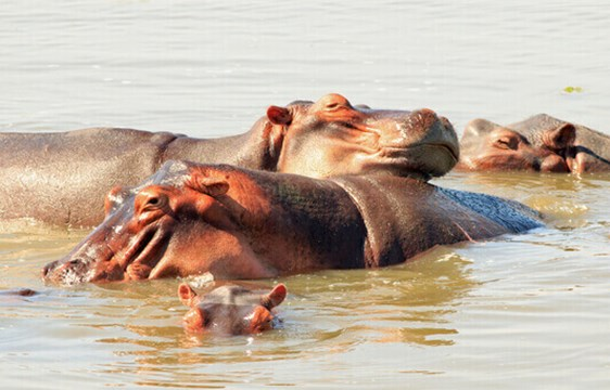 Pod of hippos bathing and swimming on safari in Zambia