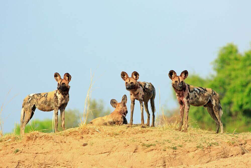 African wild dog pack on safari in Zambia