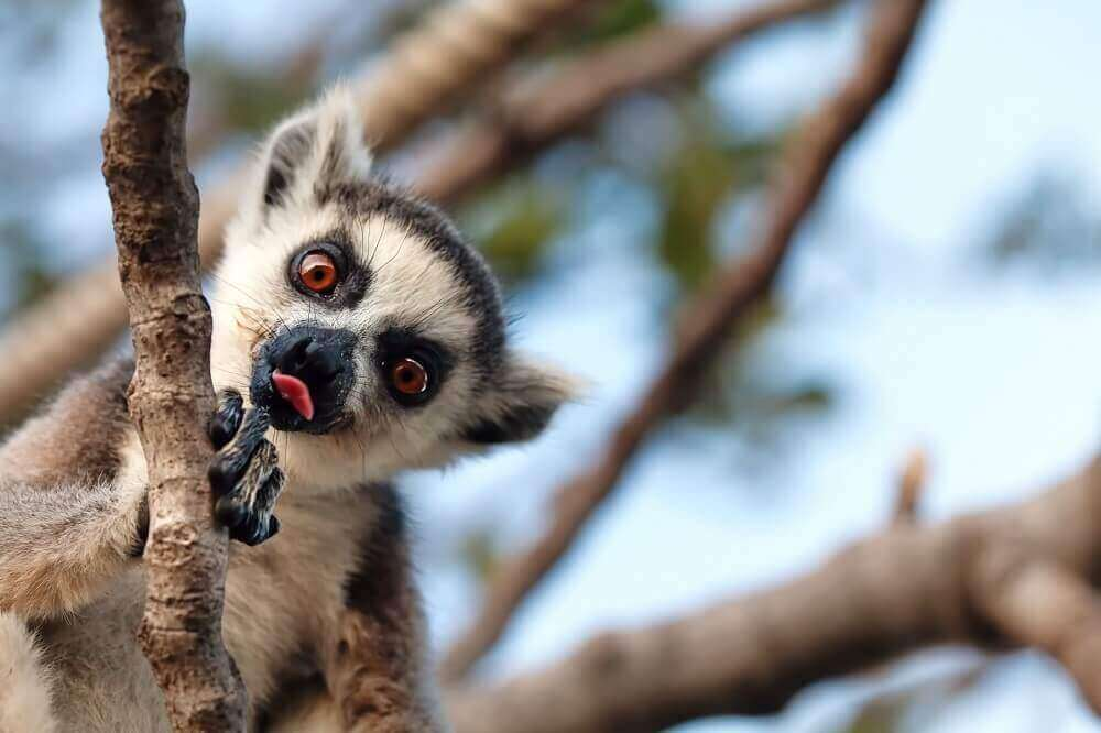 Lemur sticking its tongue out in Madagascar