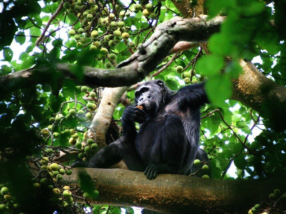 Chimpanzee in Kibale Forest Uganda