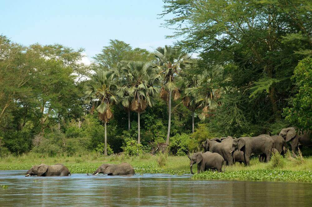 Elephant herd crossing the water on safari in Malawi