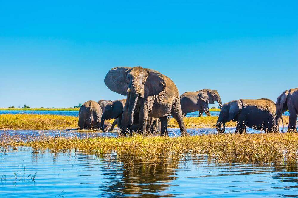 Herd of elephants crossing river on a Botswana safari
