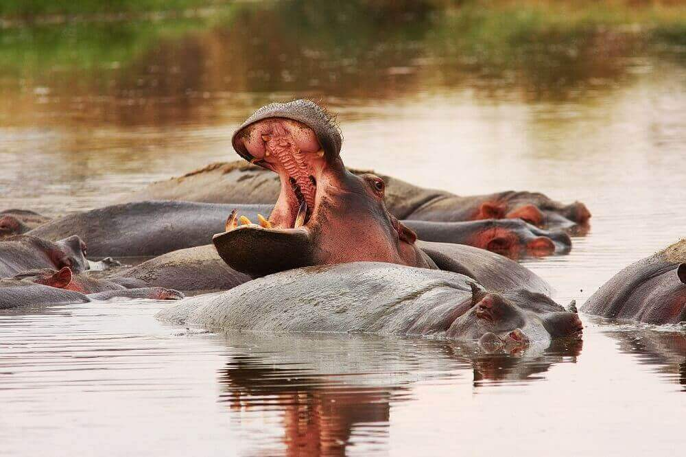 Pod of hippos bathing on safari in Tanzania