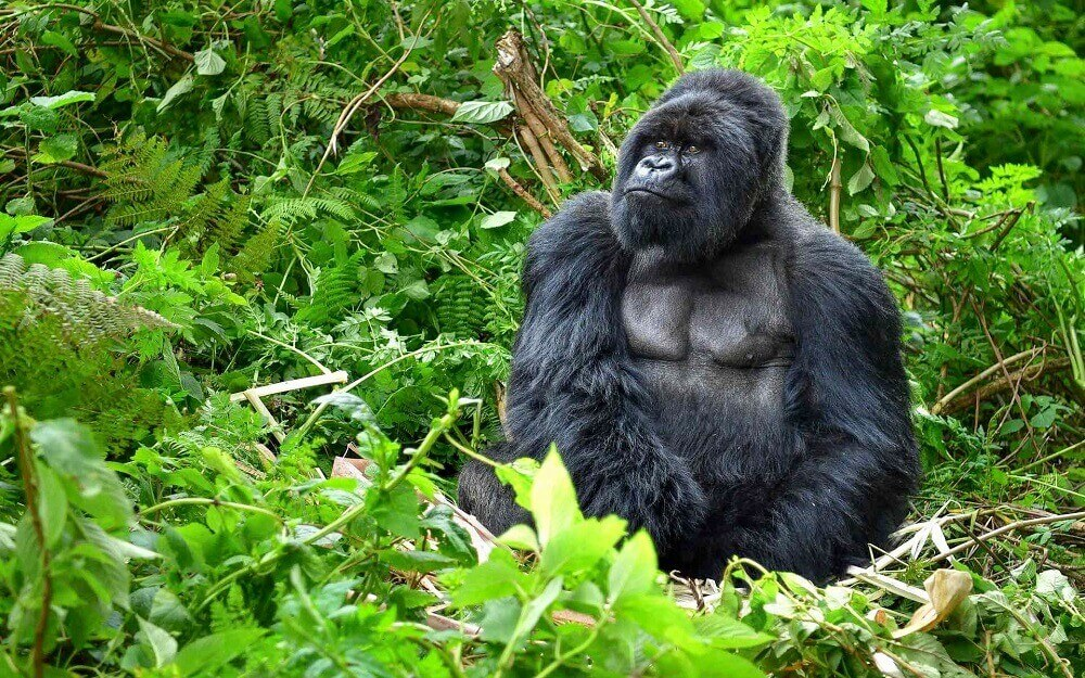 Silverback gorilla in the forest in Rwanda