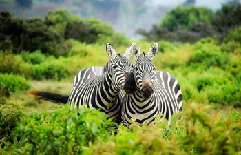 Two zebras cuddling on safari in Kenya