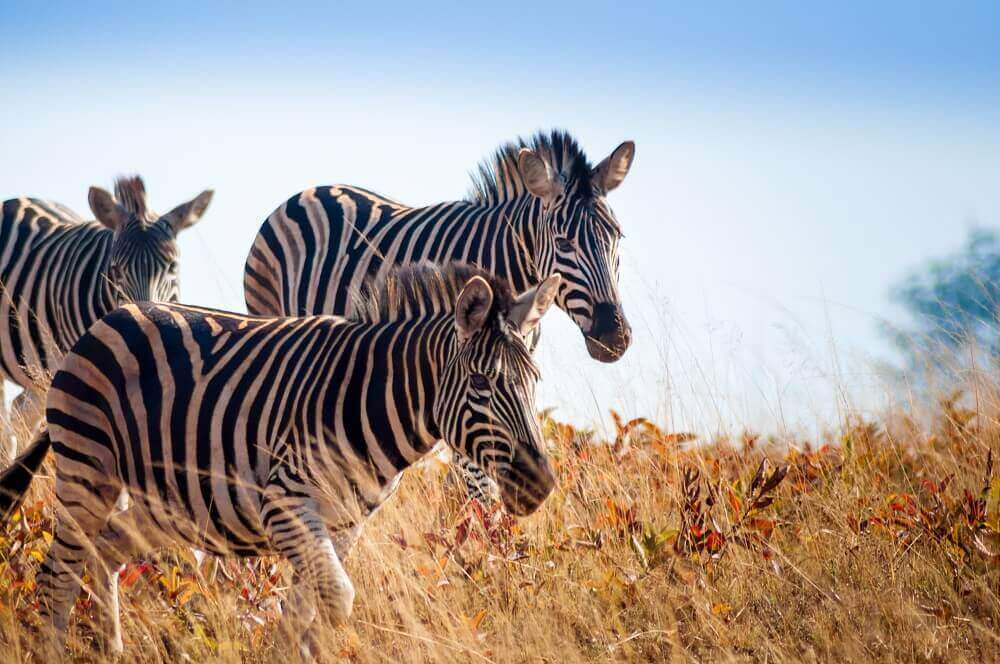 Zebra herd on safari in Swaziland