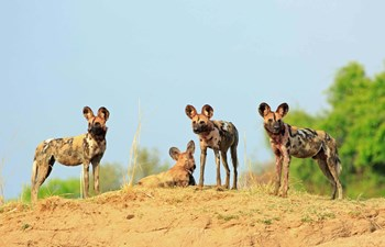 African wild dogs or painted wolves in Kafue National Park in Zambia