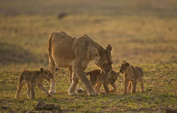 Lioness with cubs on safari in Zambia