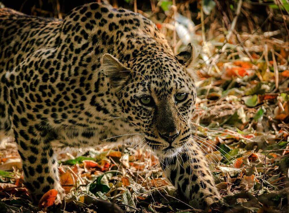 Crouching leopard in the leaves in Zambia