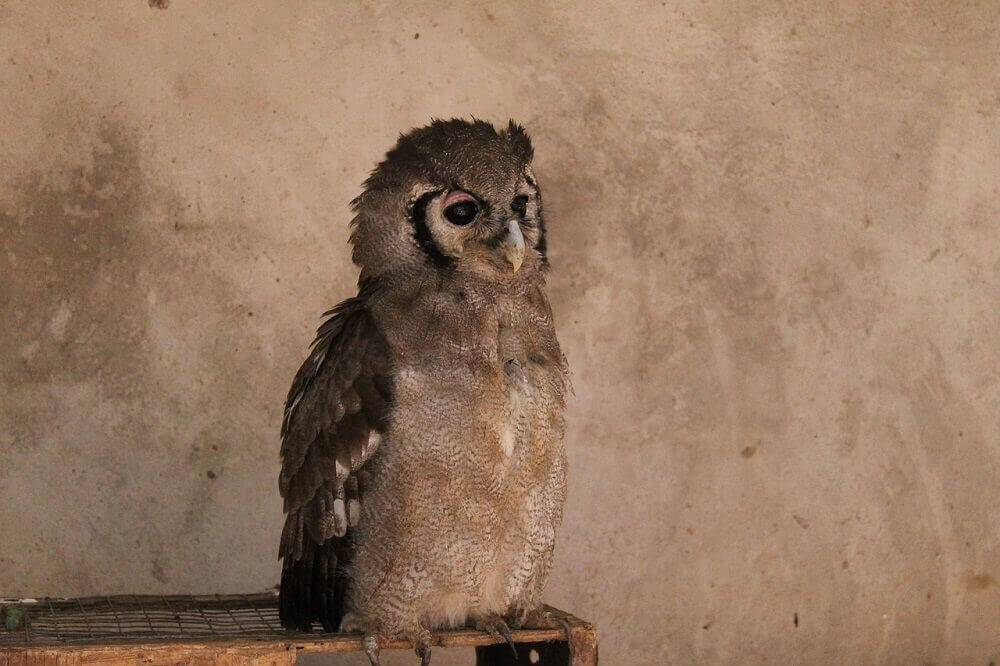 Owl perched in Zambia