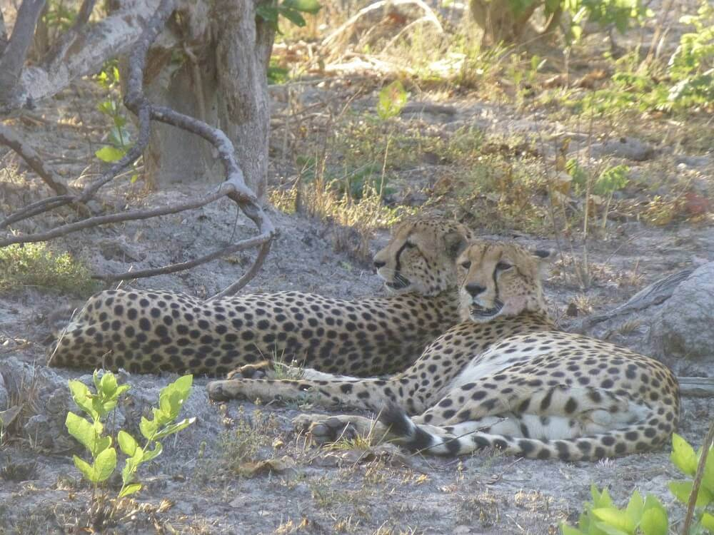 Two cheetah lying down on safari in Kafue National Park Zambia