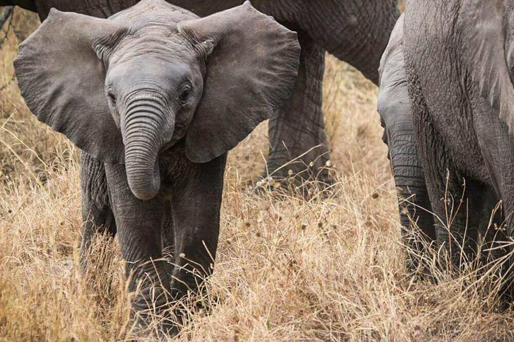 Baby elephant with herd in Tanzania on a Big Five safari