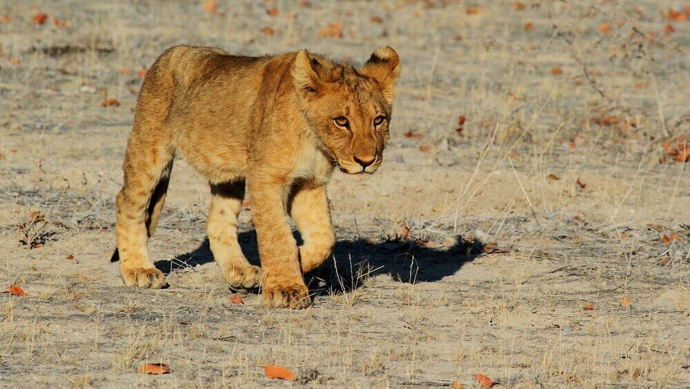 Lion cub in Namibia on a Big Five safari