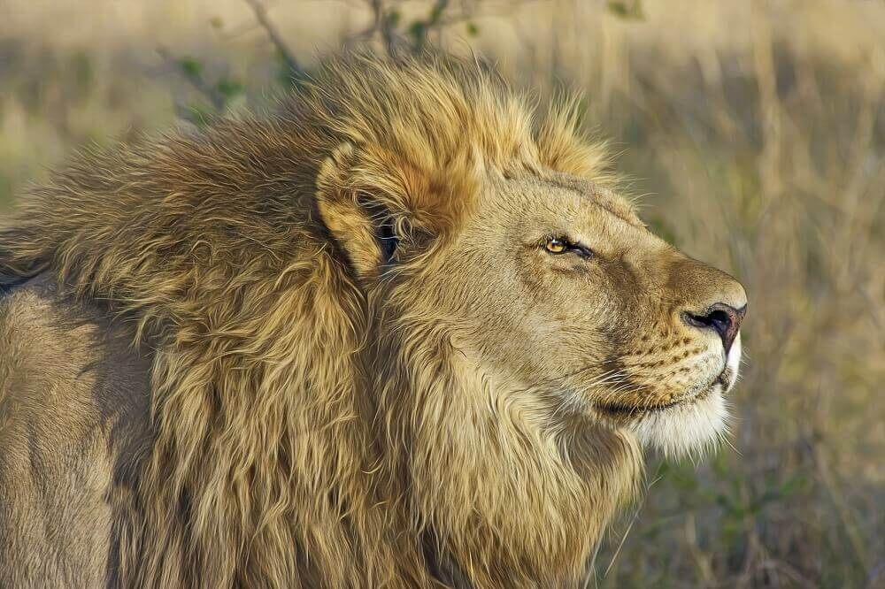 Male lion in Botswana on a Big Five safari
