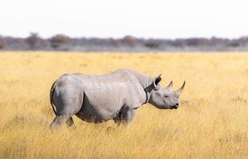 Rhino alone in South Africa on a Big Five safari